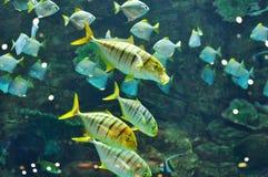 Gnathanodon speciosus black stripes yellow fish Stock Photography