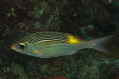 Gnathodentex aurolineatus - Fusilier fish Stock Photos