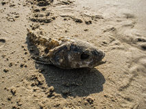 Gnawed fish head in the sand Royalty Free Stock Image