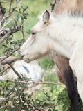 Gnawing cream foal. liberty. Israel.  Stock Photography