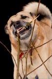 Gnawing dog Stock Photos