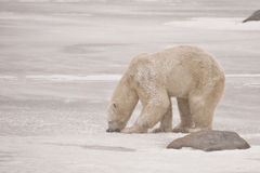 Gnawing on Ice: Snow covered Polar Bear during Sno Stock Images