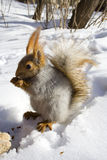 Gnawing nuts squirrel. Squirrel  on the snow gnawing nuts of siberian pine Royalty Free Stock Photo