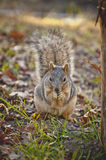 Gnawing squirrel nuts Royalty Free Stock Photography