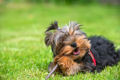 Gnawing stick lying. Puppy Yorkshire terrier gnawing stick lying on the lawn Stock Image