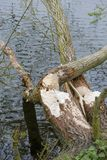 Gnawing traces of a beaver. On a tree that has completely gnawed through Royalty Free Stock Photo