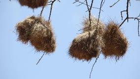 Gniazdeczka tkacza ptak zdjęcie wideo