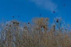 Gniazdeczka wrony lub gawrony w gaju Obraz Royalty Free