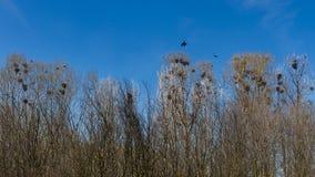 Gniazdeczka wrony lub gawrony w gaju Obraz Stock