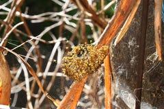 Gniazdeczko klujący się pająki Obrazy Royalty Free