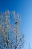 Gniazdeczko na wierzchołku drzewo Obraz Royalty Free