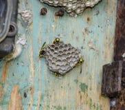 Gniazdeczko osy w starym elektrycznym switchboard Osy polist Fotografia Stock