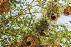 Gniazdeczko w Maasai Mara, Kenja Obrazy Stock