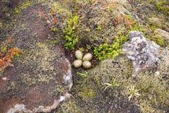 Gniazdeczko z cztery jajkami w Iceland Obraz Royalty Free