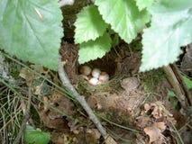Gniazdeczko z jajkami Fotografia Stock