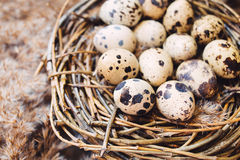 Gniazdeczko z jajkami przepiórki Zdjęcie Stock