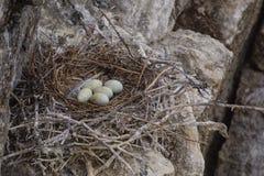Gniazdeczko z jajko wielkim czarnym kormoranem Obraz Stock