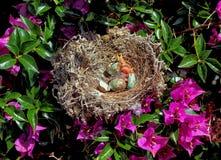 Gniazdeczko z Północnymi mockingbird kurczątkami Obraz Stock