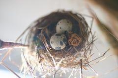 Gniazdeczko z przepiórek jajkami obrazy royalty free