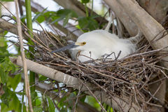 Gniazdować Śnieżnego Egret Zdjęcie Royalty Free
