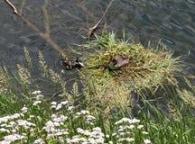 Gniazdować parę wielcy czubaci perkozy w Trentino, Włochy Zdjęcie Royalty Free