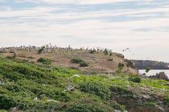 Gniazdować pelikany przy pingwin wyspą Obraz Royalty Free