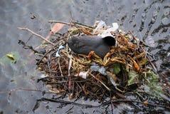 Gniazdować ptaka na śmieci Obraz Royalty Free