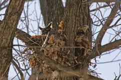 Gniazdować Uzbrajać w rogi sowy Fotografia Stock