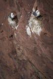 Gniazdować Dennych ptaki Zdjęcie Royalty Free