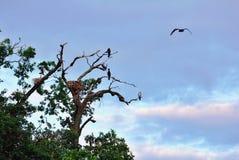 Gniazdować kormorany Fotografia Royalty Free