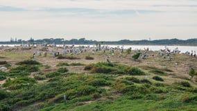 Gniazdować pelikany Zdjęcia Royalty Free