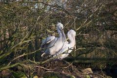 Gniazdować pelikany Obrazy Stock