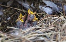 Gniazdowniki szpaczek w gniazdeczku Fotografia Royalty Free
