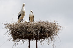 gniazdowy bocian Fotografia Royalty Free