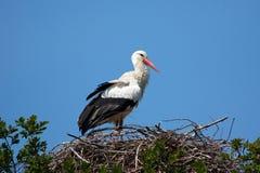 gniazdowy storck Obrazy Royalty Free