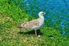 Gnieździć się Seagull Zdjęcia Stock