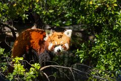 Gniewna Czerwona panda obraz royalty free