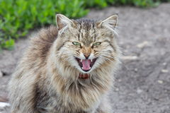 Gniewna emocja puszysty szary kot Zdjęcie Stock