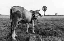 Gniewna krowa Zdjęcie Stock