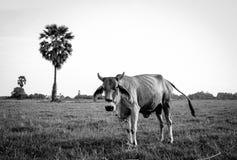 Gniewna krowa Obrazy Stock