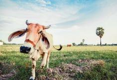 Gniewna krowa w polu Obraz Stock