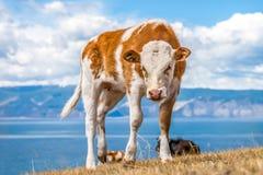 Gniewna młoda czerwona krowa z białymi punktami Obrazy Stock