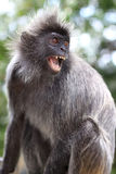 gniewna małpa zdjęcie stock