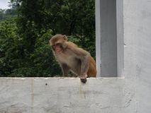 Gniewna małpa w India Zdjęcia Stock