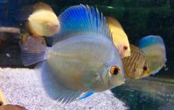 Gniewna ryba Zdjęcia Stock