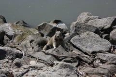 gniewna wiewiórka Zdjęcie Royalty Free