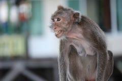 Gniewne małpy Obrazy Royalty Free