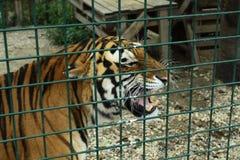 (1) 2 gniewnego czarny koloru halftone tygrysi wersi biel Obrazy Royalty Free