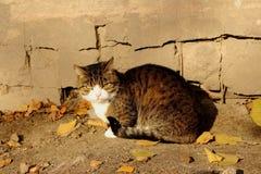 Gniewni kotów spojrzenia przy kamerą przeciw betonowi siwieją ściennych i spadać kolorów żółtych liście Obraz Stock