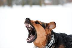 gniewni ogołacający psi zęby Fotografia Royalty Free